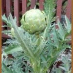 Sarah's Home Grown Artichoke